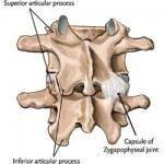 Facet joints are found at all levels of the spine, supporting and bracing the spine while allowing free movement